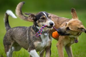 tug of war 2 dogs
