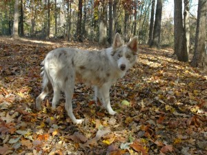 border collie in the woods