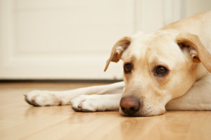 bored richmond dog on floorSmall