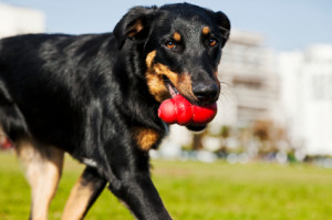 Beauceron / Australian Shepherd Dog with Toy at the Park