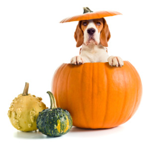 Can You Feed Pumpkin To Dogs
