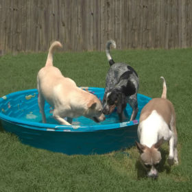 3-dogs-pool-643kb
